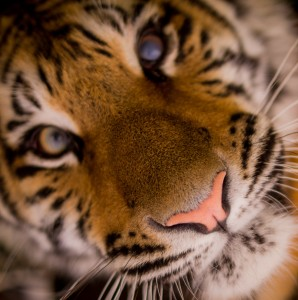 tiger_close up-cropped square small 300x 301