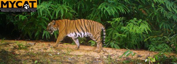 Tiger CATwalk