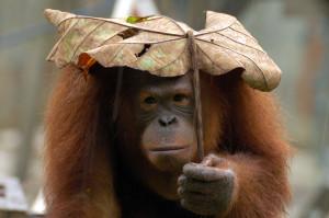 Orangutan-Pygmy-elephant-conservation