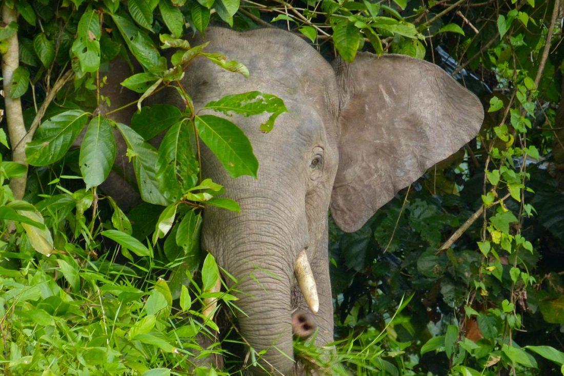 WILD ELEPHANT SAFARI, MALAYSIA