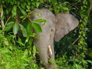 Pygmy_Elephant_(Elephas_maximus_borneensis)_(8071012817)