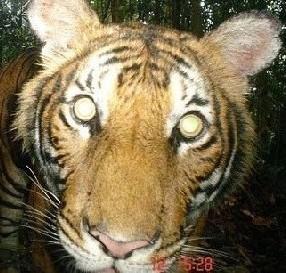 JUNGLE TIGER CATWALK