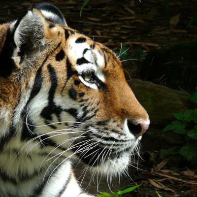 Tiger-Slider1