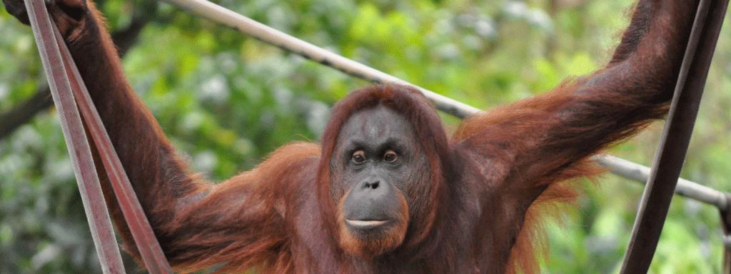 Orangutan-Slider4-1024x384-Amended