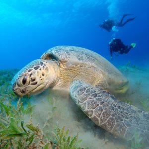 perhentian turtle volunteering