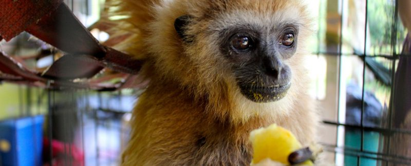 Help with wild gibbon rescue and rehabilitation in peninsular Malaysia