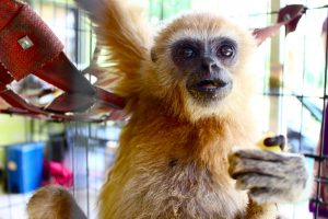 Wild gibbon rescue and rehabilitation