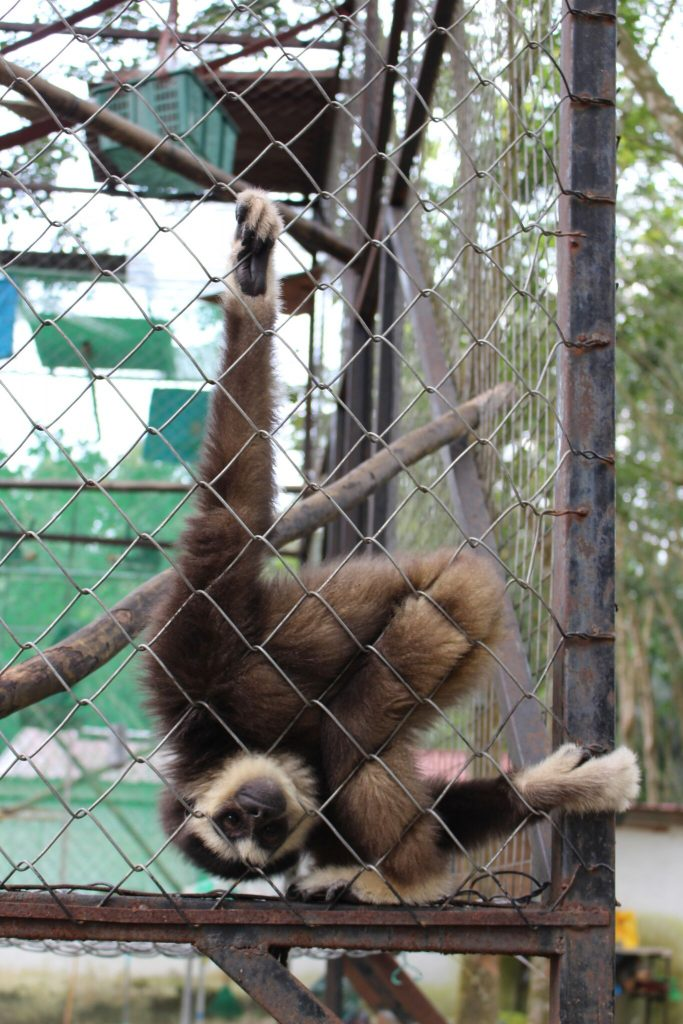 Agile Gibbon at Gibbon Protection Society Malaysia