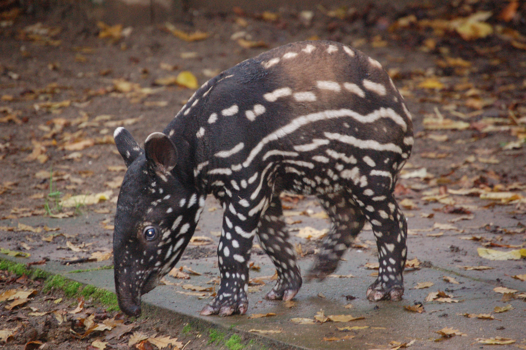 Please Slow Down For The Malayan Tapir!