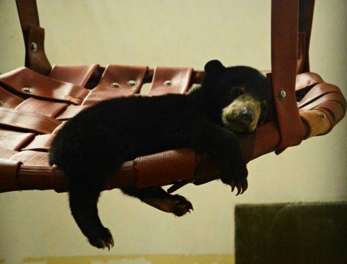 Bear Rehab Volunteer In Borneo