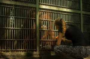 Wildlife rescue volunteering indonesia orangutans