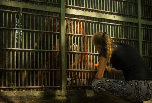 Wildlife rescue volunteering indonesia orangutans