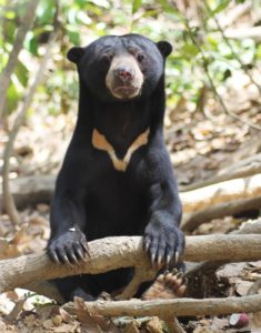 Bear rehab volunteer in Borneo
