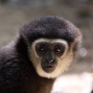 gibbon rehab volunteer