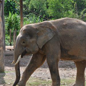 How To Save The Borneo Pygmy Elephant?