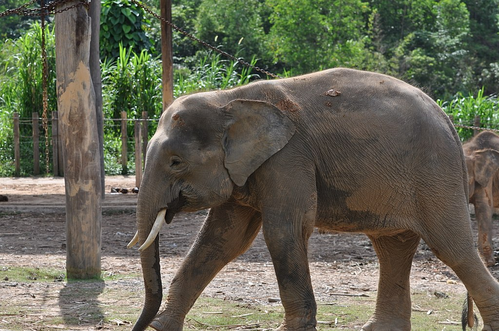 How To Save The Borneo Pygmy Elephant?