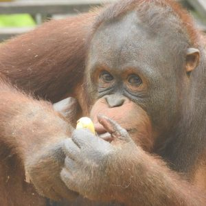 Volunteering With Orangutans, Gibbons And More At Matang, Borneo