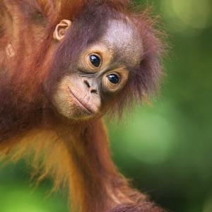 adopt an ape