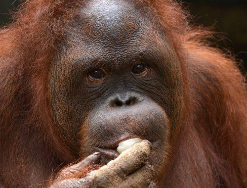 Adopt An Ape Noni