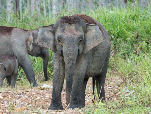 Borneo Elephant Conservation